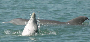 See Dolphins on Hutchinson Island