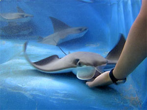 Feed the Stingrays at Florida Oceanographic Coastal Center located on Hutchinson Island, Stuart Florida