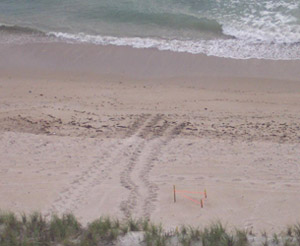 Sea Turtle Nest and Sea Turtle Tracks Hutchinson Island Florida